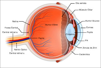 Vitreoous and Retina